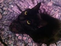 Domestic Short Hair - Black - Bambi A.k.a. Mama -