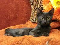 Domestic Short Hair - Black - Batton Cat - Medium -