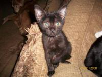 Domestic Short Hair - Black - Beeper - Small - Young -
