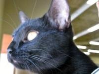 Domestic Short Hair - Black - Bellatrix - Medium - Baby