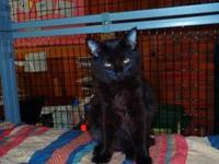 Domestic Short Hair - Black - Beta - Large - Young -