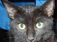 Domestic Short Hair - Black - Billy - Medium - Young -