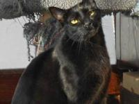 Domestic Short Hair - Black - Bindi - Large - Adult -