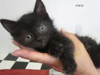 Domestic Short Hair - Black - Blackbird - Medium - Baby