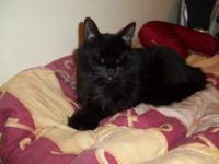 Domestic Short Hair - Black - Blackie Ii - Large -
