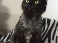 Domestic Short Hair - Black - Blackjack - Large - Adult
