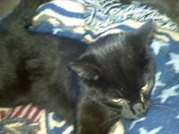 Domestic Short Hair - Black - Blacky - Small - Young -