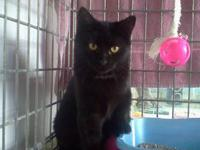 Domestic Short Hair - Black - Boo - Medium - Young -