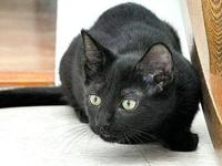 Domestic Short Hair - Black - Bronco - Medium - Young -