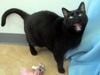 Domestic Short Hair - Black - Bruno (no Adoption Fee!)