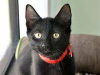 Domestic Short Hair - Black - Buck - Medium - Young -