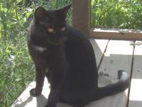 Domestic Short Hair - Black - Candy - Small - Adult -