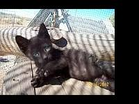 Domestic Short Hair - Black - Captain America - Large -