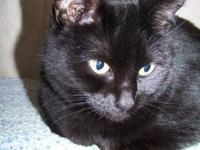 Domestic Short Hair - Black - Chevelle - Medium - Adult