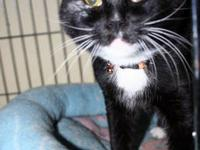 Domestic Short Hair - Black - Christopher - Medium -
