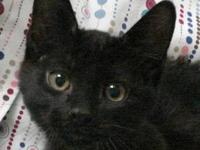 Domestic Short Hair - Black - Coal - Large - Baby -