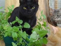 Domestic Short Hair - Black - Coal - Small - Young -
