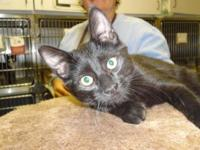 Domestic Short Hair - Black - Cole - Small - Baby -