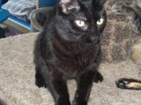 Domestic Short Hair - Black - Colson - Medium - Young -