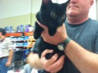 Domestic Short Hair - Black - Costello - Medium - Young