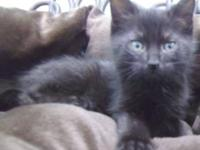 Domestic Short Hair - Black - Dash - Medium - Baby -