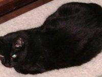 Domestic Short Hair - Black - Delilah - Medium - Adult