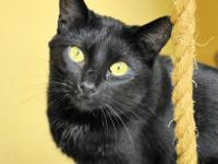 Domestic Short Hair - Black - Dinah - Small - Young -