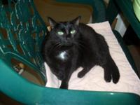 Domestic Short Hair - Black - Dolly - Medium - Adult -