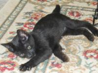 Domestic Short Hair - Black - Dolly - Small - Baby -