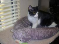 Domestic Short Hair - Black - Doyle 1 - Small - Adult -