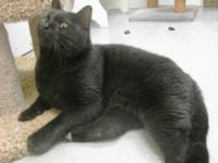 Domestic Short Hair - Black - Drac - Large - Adult -