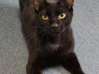 Domestic Short Hair - Black - Dyllan - Medium - Young -