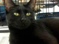 Domestic Short Hair - Black - Ebony And Pepper - Medium