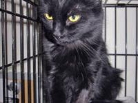 Domestic Short Hair - Black - Eldora - Medium - Young -