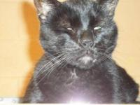 Domestic Short Hair - Black - Ely - Large - Senior -