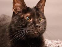 Domestic Short Hair - Black - Ember - Small - Adult -
