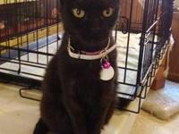 Domestic Short Hair - Black - Emma - Small - Adult -