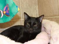 Domestic Short Hair - Black - Evie - Small - Adult -