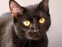 Domestic Short Hair - Black - Freedom - Small - Young -