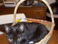 Domestic Short Hair - Black - French - Small - Young -