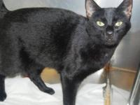 Domestic Short Hair - Black - Gin Gin - Medium - Adult