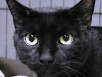 Domestic Short Hair - Black - Guiness - Medium - Adult