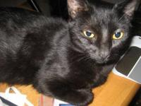 Domestic Short Hair - Black - Hanna - Small - Adult -