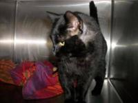 Domestic Short Hair - Black - Harold - Small - Adult -