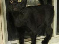 Domestic Short Hair - Black - Hershey - Large - Young -