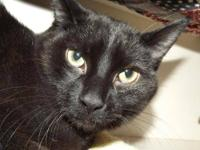 Domestic Short Hair - Black - Huey - Medium - Young -