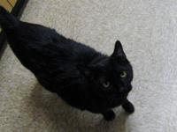 Domestic Short Hair - Black - Hulk - Large - Baby -