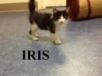 Domestic Short Hair - Black - Iris - Medium - Young -