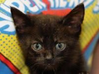 Domestic Short Hair - Black - Jackie, Jr. - Medium -