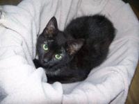 Domestic Short Hair - Black - Jeannie - Small - Adult -